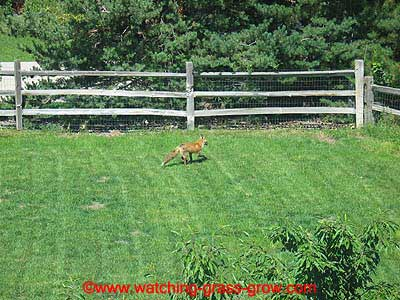 backyard fox 1