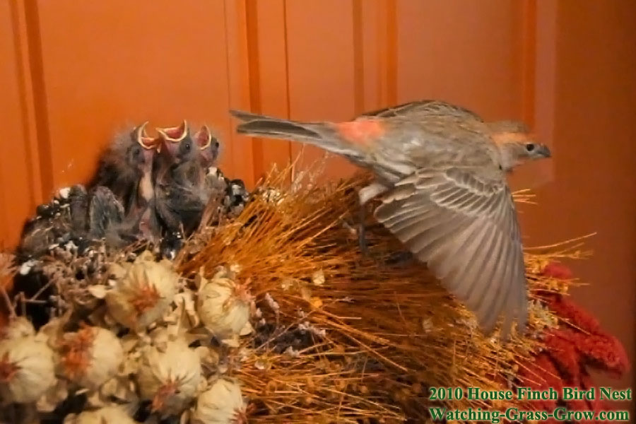 Baby House Finches on my front door! - FM Forums