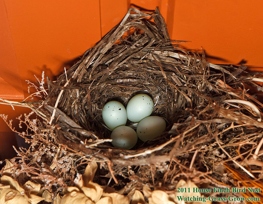 house finch nest 4 eggs