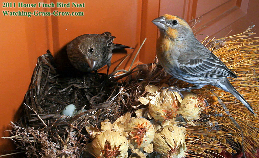 House Finches Nest Again In 2011 Live Webcam