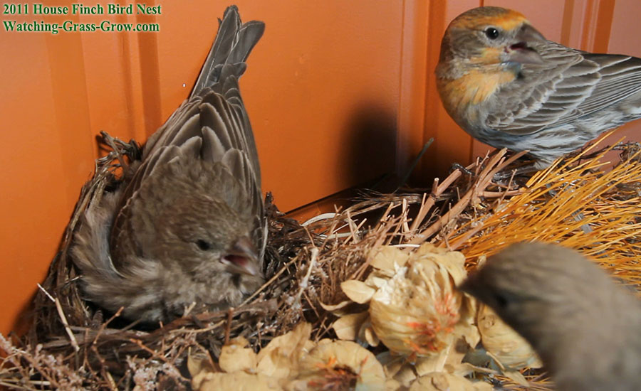 house finch defend attack nest