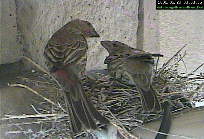 mom and dad finches
