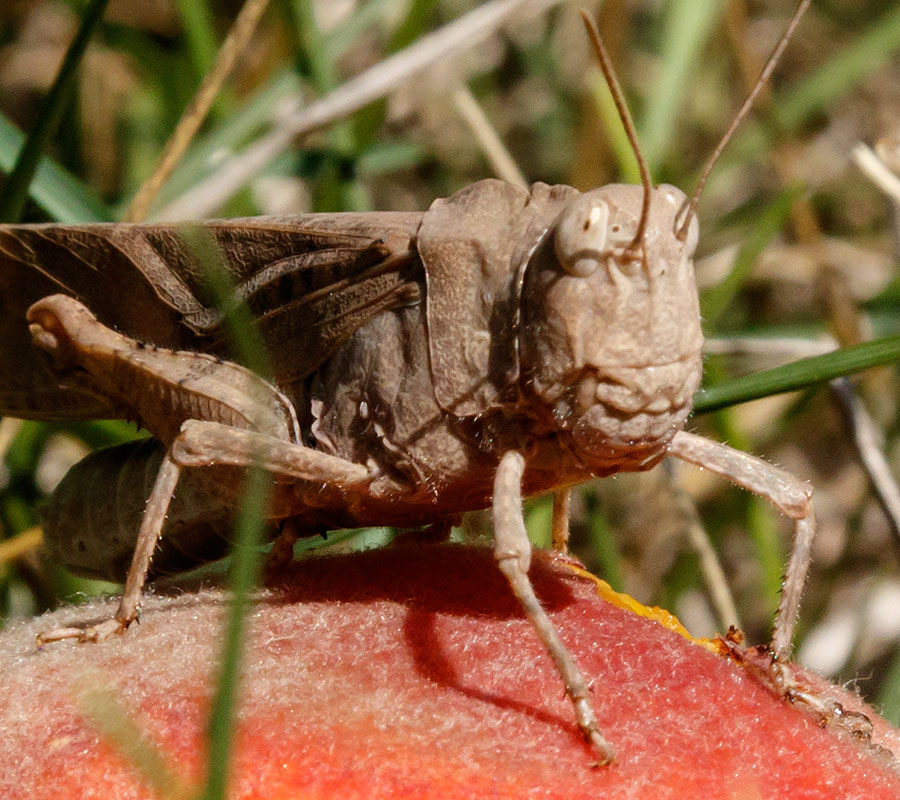peach tree grasshopper closeup