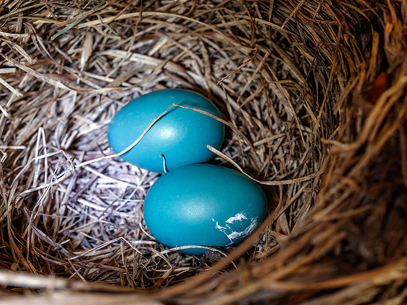 robin nest two eggs