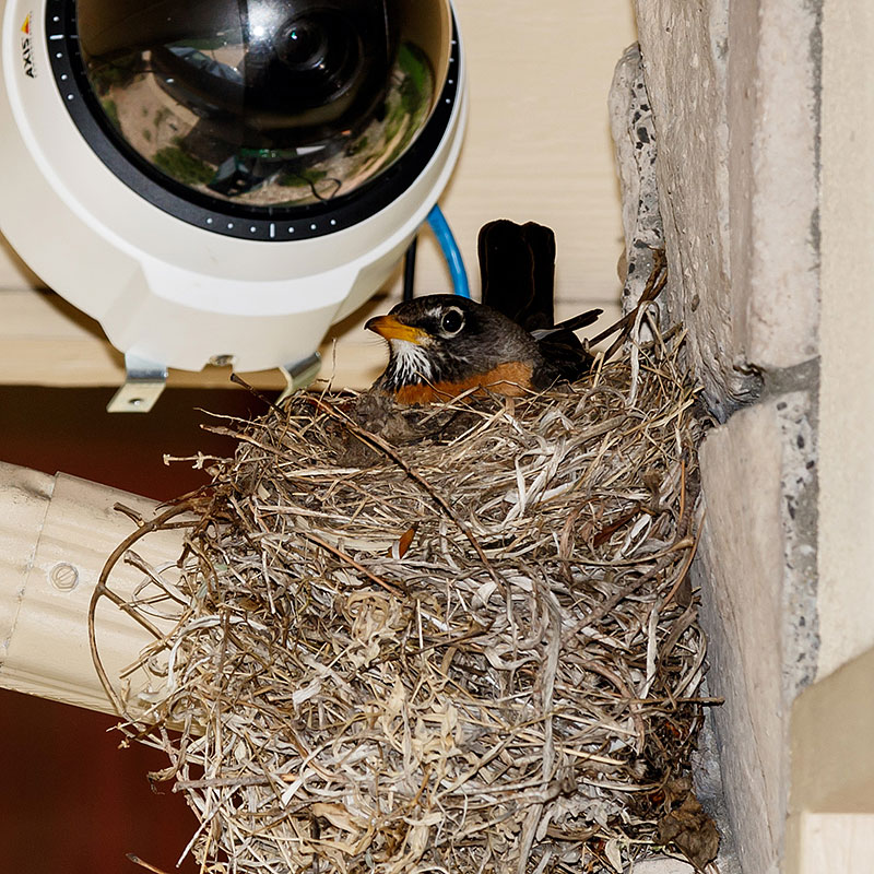 robin nest webcam2