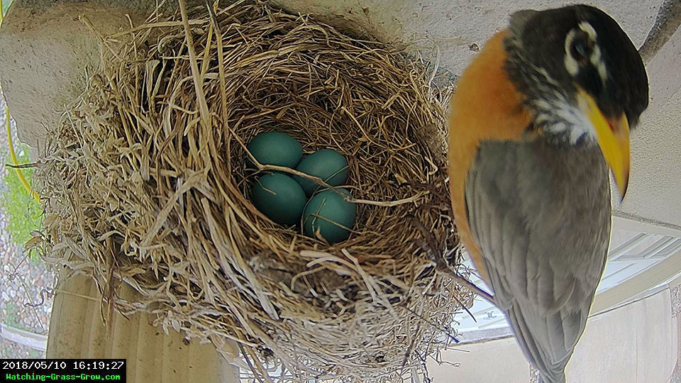 robin visits nest